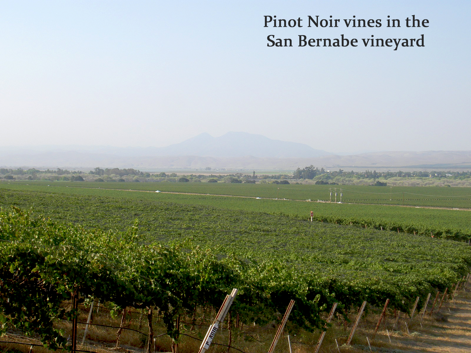 Pinot Noir San Bernabe Vineyard with Caption