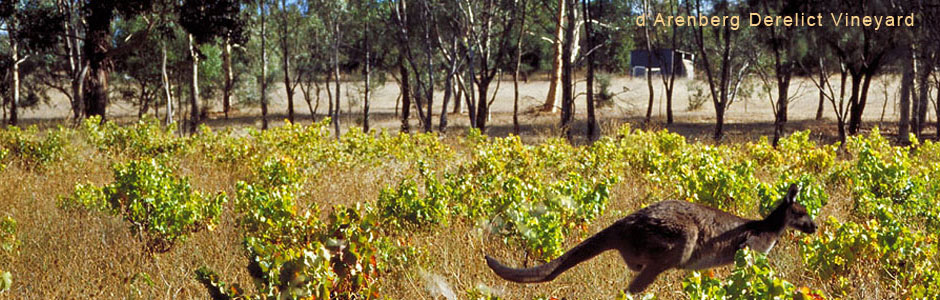 Darenberg-Kangaroo-in-the-Derelict-Vineyard.jpg