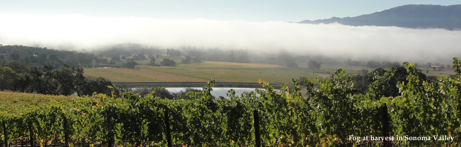 Fog_at_harvest_in_Sonoma_Valley.jpg